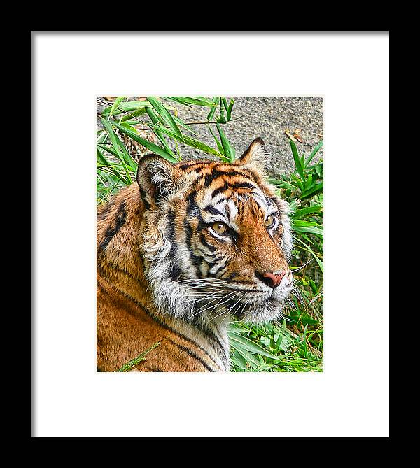Tiger Framed Print featuring the photograph Tiger Portrait by Jennie Marie Schell
