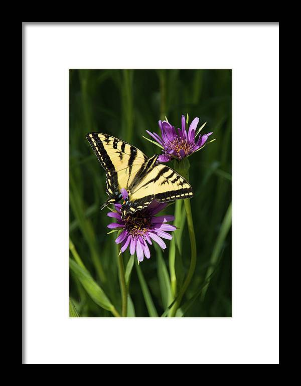 Tiger Swallowtail Butterfly Framed Print featuring the photograph Tiger Swallowtail by Susan Wright