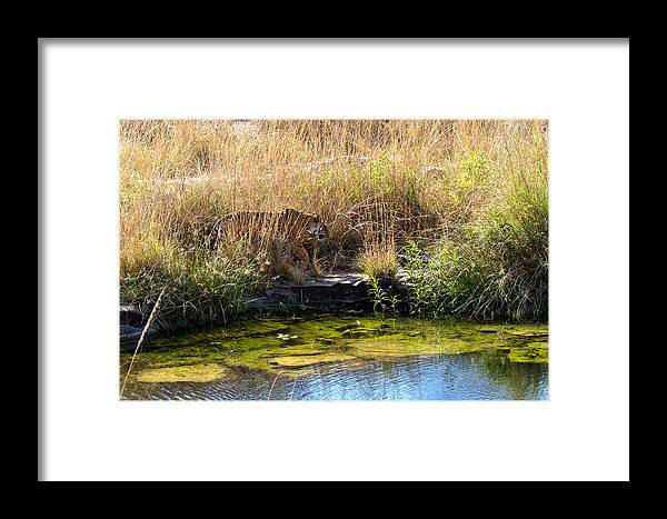 Animal Framed Print featuring the photograph Tigress By The Stream by Ramabhadran Thirupattur