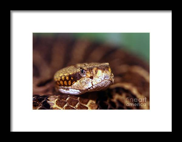 Animal Framed Print featuring the photograph Timber Rattler Coil by Alan Look