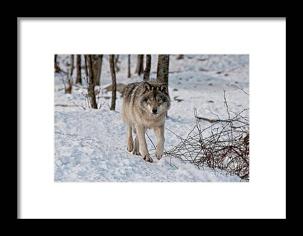 Michael Cummings Framed Print featuring the photograph Timber Wolf In Snow by Michael Cummings