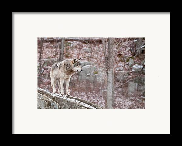 Michael Cummings Framed Print featuring the photograph Timber Wolf On Rocks by Michael Cummings
