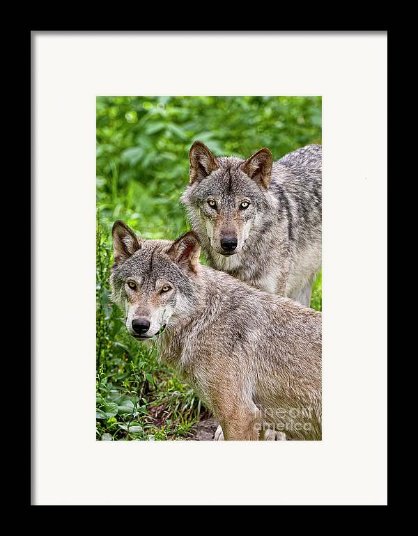 Michael Cummings Framed Print featuring the photograph Timber Wolf Pair by Michael Cummings