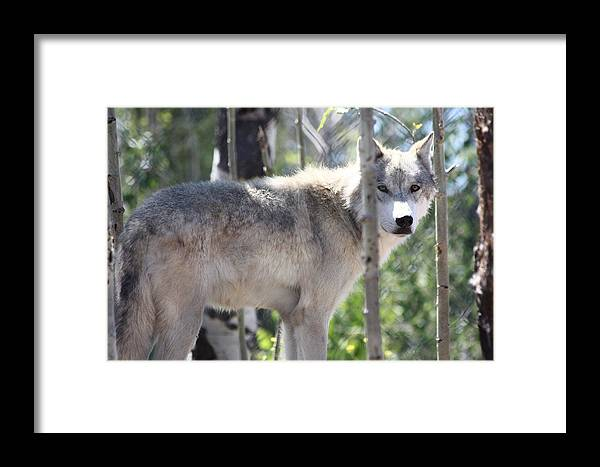 Timber Wolf Framed Print featuring the photograph Timber Wolf by Shane Bechler