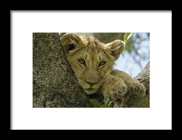 Africa Framed Print featuring the photograph Time for a Nap by Michele Burgess