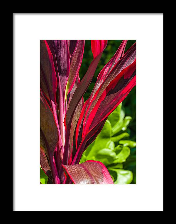 Ti Leaves Framed Print featuring the photograph Time For Ti by Lisa Puaa