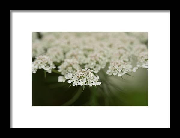 Queen Anne's Lace Framed Print featuring the photograph Tiny Cluster Of Queen Anne's Lace by Joan Dreps-De Marco