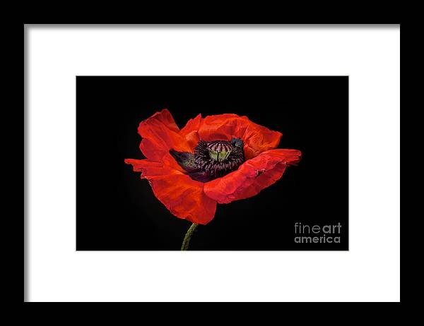 Red Oriental Poppy Framed Print featuring the photograph Tiny Dancer Poppy by Toni Chanelle Paisley