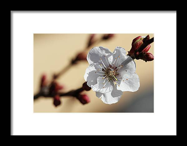 Photography Framed Print featuring the photograph Tiny White Flower by Susan Campbell