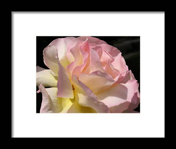 Framed Print featuring the photograph Tissue Paper Rose by Judith Turner