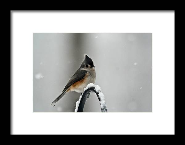 Titmouse Framed Print featuring the photograph Titmouse In The Snow by Douglas Barnett