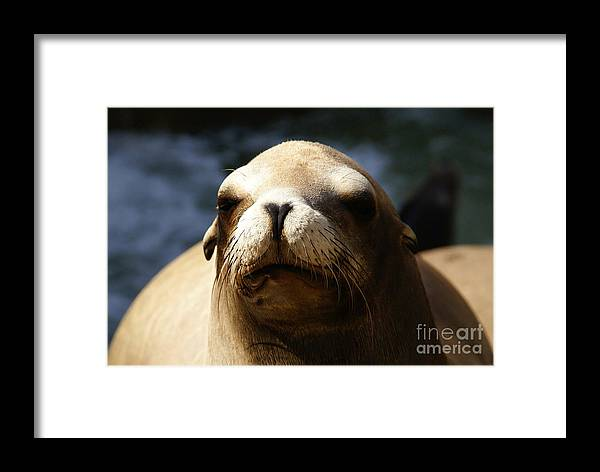 Eared Seal Framed Print featuring the photograph To Bask In Royal Sun by Linda Shafer