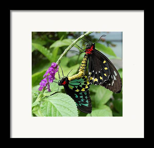 Butterfly Framed Print featuring the photograph Together Forever by Blima Efraim