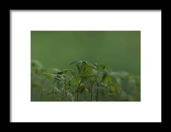 Agriculture Framed Print featuring the photograph Tomato seedlings in the morning by Adrian Bud