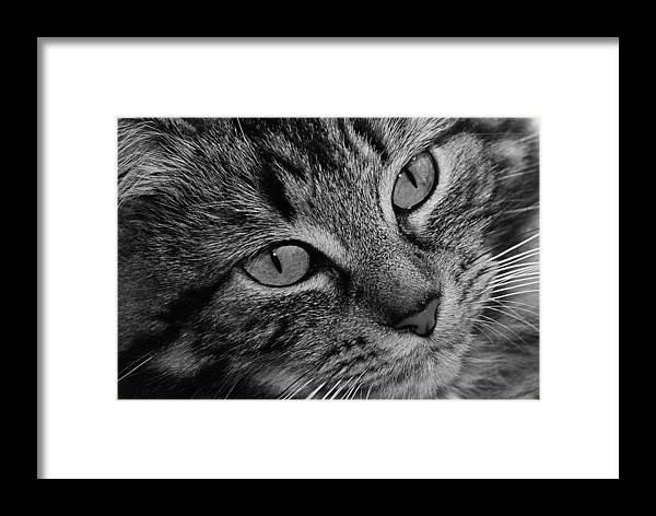 Cat Framed Print featuring the photograph Toots1 by Fraser Davidson