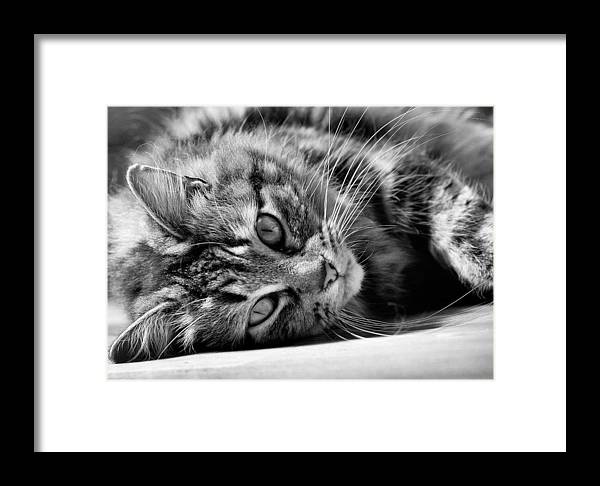 Cat Framed Print featuring the photograph Toots4 by Fraser Davidson