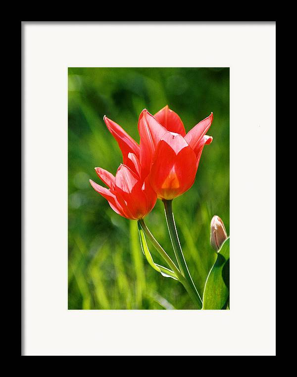 Flowers Framed Print featuring the photograph Toronto Tulip by Steve Karol