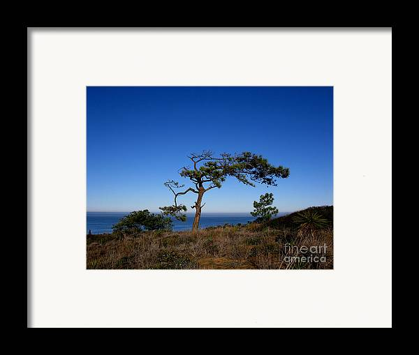 Torrey Pines Framed Print featuring the photograph Torrey Pines Tree by PJ Cloud