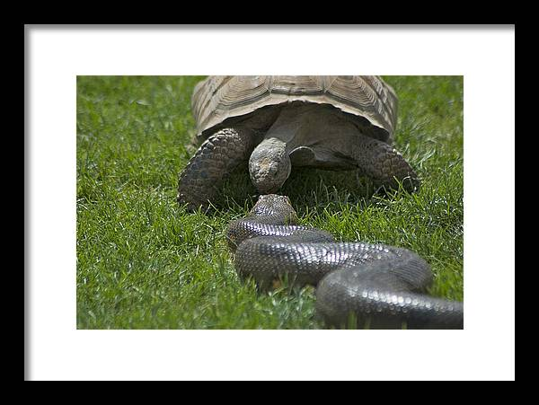 Kissing Framed Print featuring the photograph Tortoise Kissing An Anaconda by Susan Heller