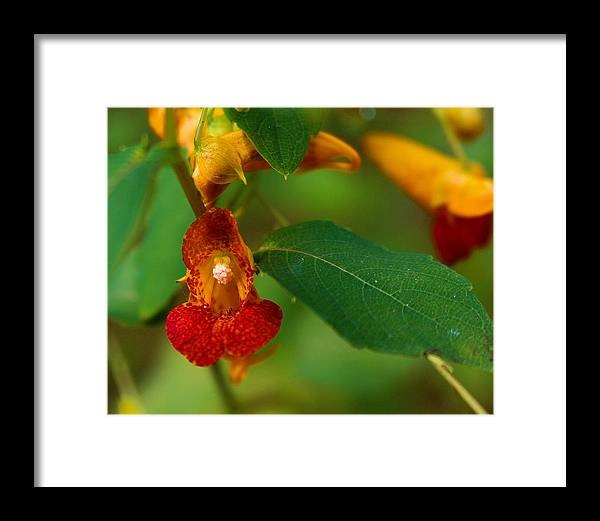 Touch Me Not Framed Print featuring the photograph Touch-me-not by Jessica Fronabarger