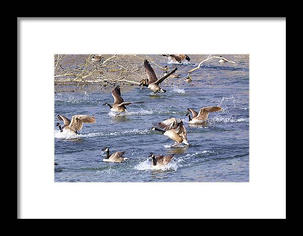 Wildlife Framed Print featuring the photograph Touchdown by Larry Heins