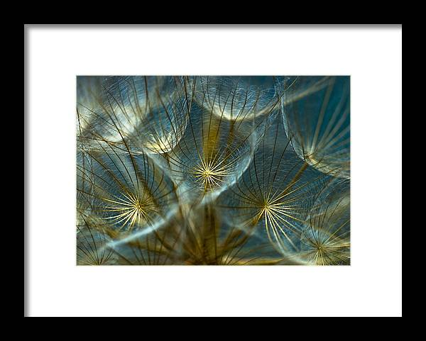 Dandelion Framed Print featuring the photograph Translucid Dandelions by Iris Greenwell