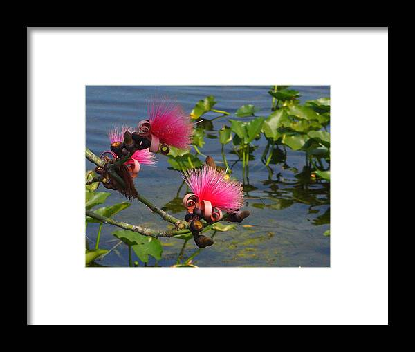 Pink Framed Print featuring the photograph Tree Blossoms by Peggy King