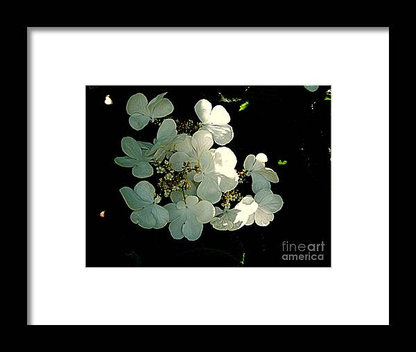 Photography Framed Print featuring the photograph Tree Hydrangeas by Nancy Kane Chapman