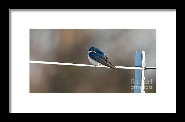 Jack Schultz Photography Framed Print featuring the photograph Tree Swallow 3708 by Jack Schultz