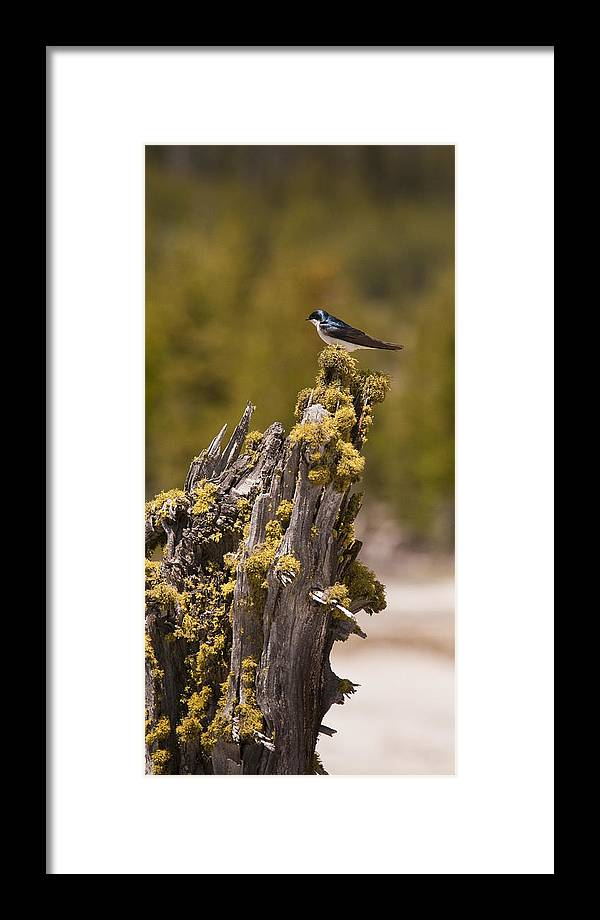 Bird Framed Print featuring the photograph Tree Swallow by Chad Davis
