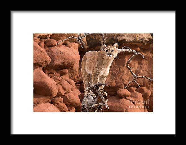 Mammal Framed Print featuring the photograph Treed Mountain Lion by Dennis Hammer