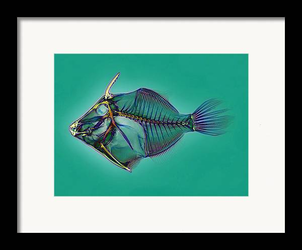 Triggerfish Framed Print featuring the photograph Triggerfish Skeleton, X-ray by D. Roberts