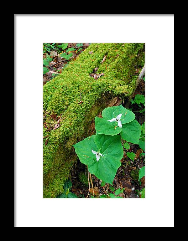 Trillium Framed Print featuring the photograph Trillium Pair By Mossy Log by Alan Lenk
