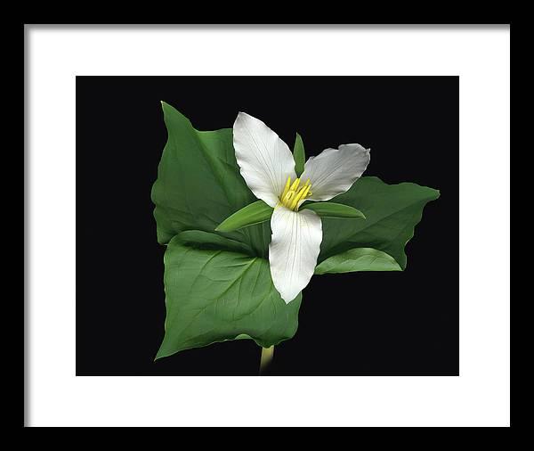 Trillium. Wake Robin Framed Print featuring the digital art Trillium by Sandi F Hutchins
