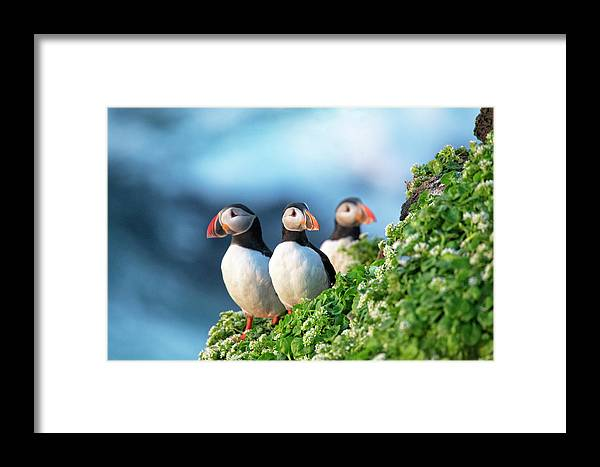 Puffins Framed Print featuring the photograph Trio by Leigh Lofgren