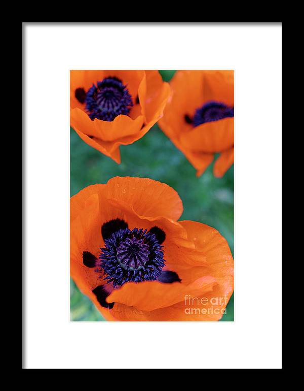 Oriental Poppies Framed Print featuring the photograph Trio Of Poppies by John Mitchell