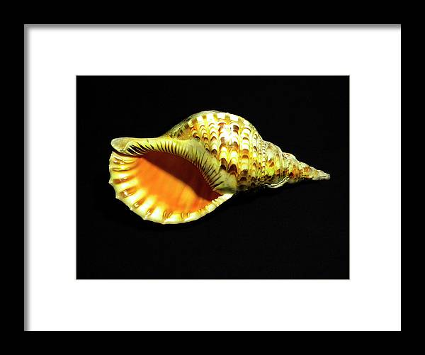 Frank Wilson Framed Print featuring the photograph Triton Trumpet Seashell Cymatium Tritonis by Frank Wilson