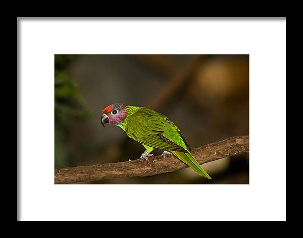 Tropical Framed Print featuring the photograph Tropical Bird by Douglas Barnett