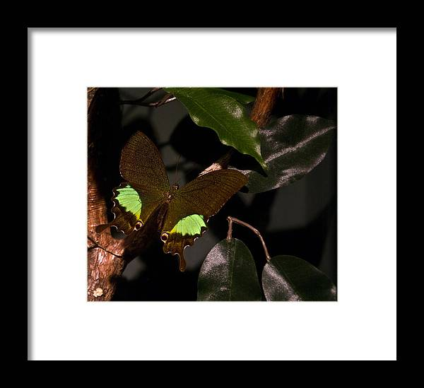 Tropical Framed Print featuring the photograph Tropical Buterfly by Douglas Barnett