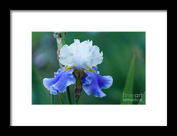 Iris Framed Print featuring the photograph Tropical Dreams by Beve Brown-Clark Photography