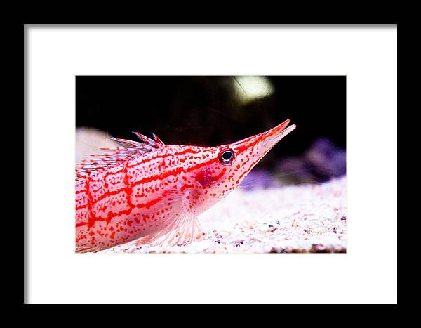 Fish Framed Print featuring the photograph Tropical Fish by Brenton Woodruff