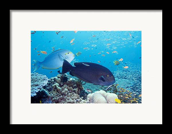 Acanthurus Mata Framed Print featuring the photograph Tropical Reef Fish by Georgette Douwma