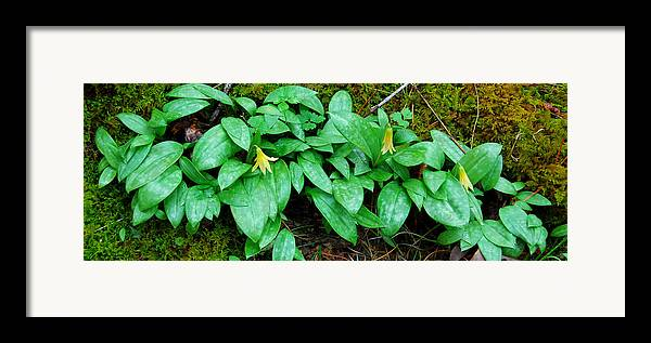 Trout Lily Framed Print featuring the photograph Trout Lily Panorama by Alan Lenk