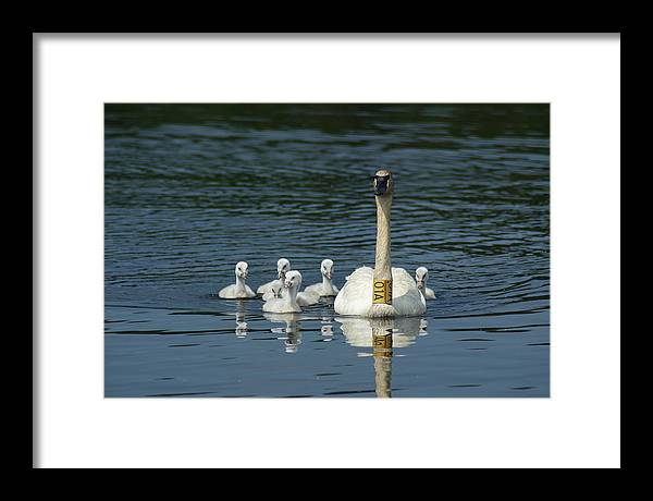 Nature Framed Print featuring the photograph Trumpeter Swan With Cygnets by Ron Read
