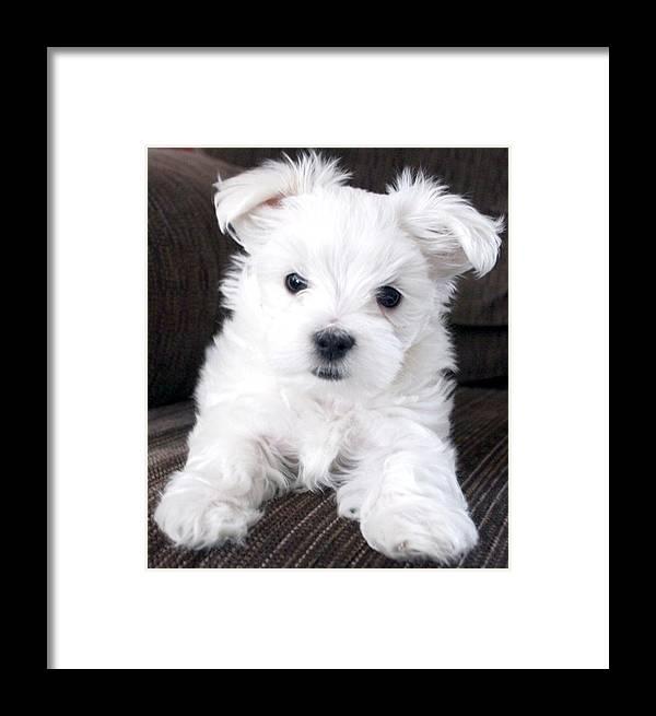 Photgraphy Digital Art Dog Maltese Framed Print featuring the photograph Tsheyka The Maltese Pup by BJ Redmond