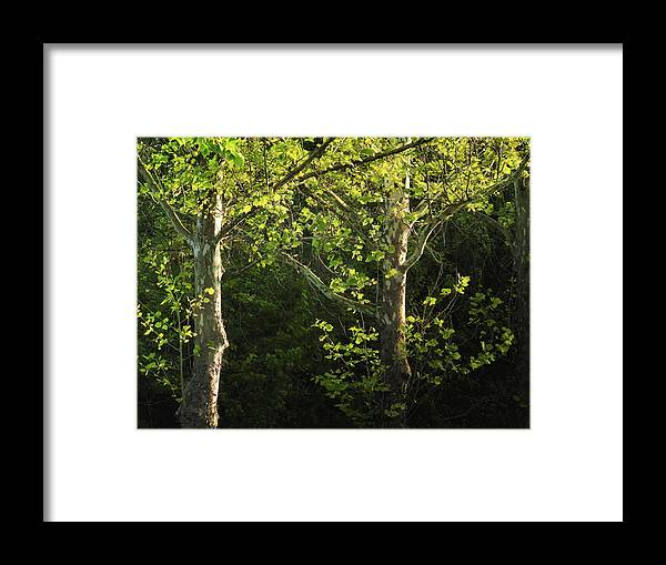 Maple Framed Print featuring the photograph Branches Of Lovely Light by Laura Ragland