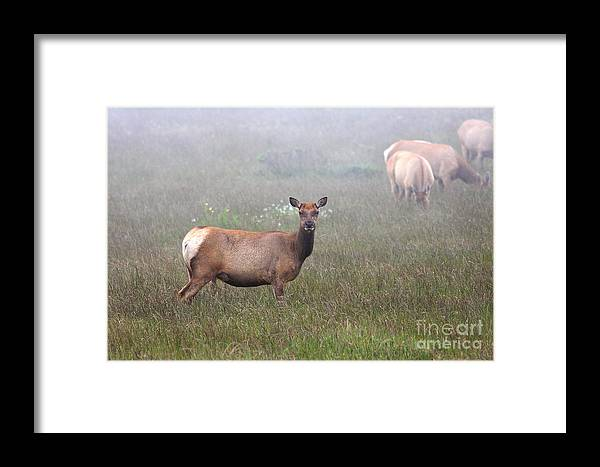 Wildlife Framed Print featuring the photograph Tule Elk In Fog by Wingsdomain Art and Photography