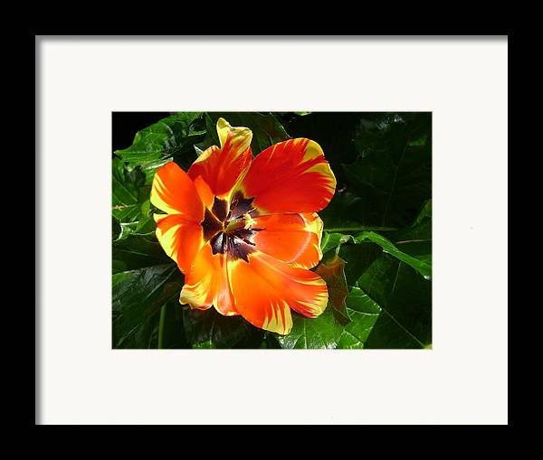 Tulip Framed Print featuring the digital art Tulip After The Rains by Laura Johnson