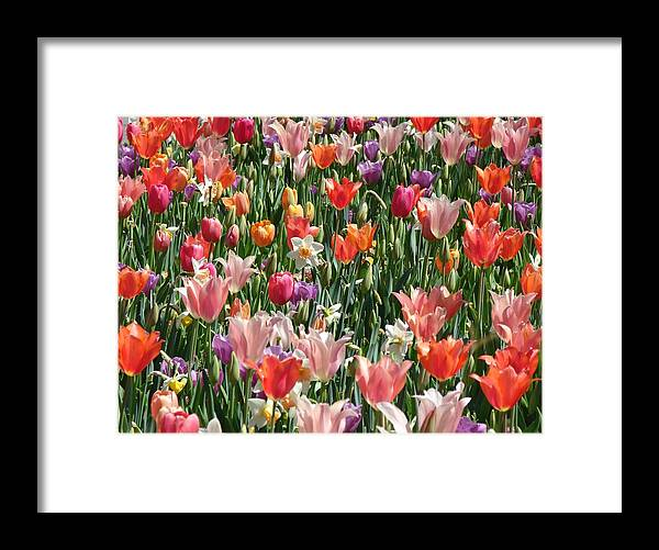 Landscape Framed Print featuring the photograph Tulip Delight 4 by Shiana Canatella
