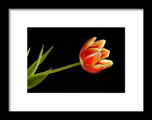 Flower Framed Print featuring the photograph Tulip by Ed Zirkle